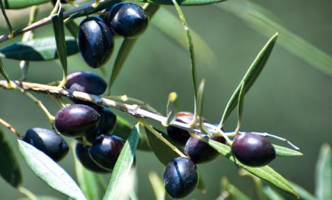 Η καλλιέργεια της ελιάς στις Κυκλάδες αλλά και στην Ανδρο, συγκριτικά με άλλα ελλαδικά μέρη, έμεινε ασήμαντη παρά όλες τις προσπάθειες αύξησης της καλλιέργειας μετά την Επανάσταση. Την εποχή που ακόμα οι καλλιέργειες μπορούν να θεωρηθούν παραδοσιακές, τον Μεσοπόλεμο, ο ετήσιος μέσος όρος παραγωγής ελαιολάδου στην Ελλάδα ήταν 112.000 τόννοι ενώ για τις Κυκλάδες η αντίστοιχη παραγωγή 1.000 τόννοι. Επίση,  ο ετήσιος μέσος όρος για βρώσιμες ελιές για την Ελλάδα ήταν 35.600 τόννοι ενώ για τις Κυκλάδες μόνον 250 τόννοι.