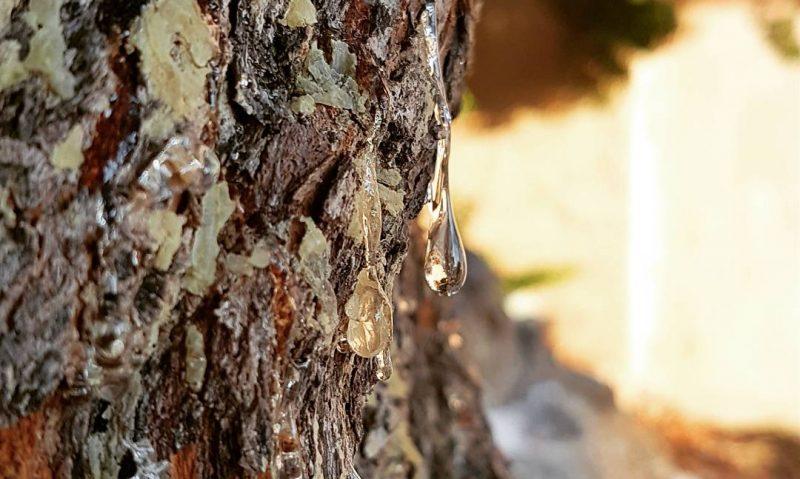 Μαστίχα, το πολύτιμο δάκρυ της Μυροβόλου-featured_image