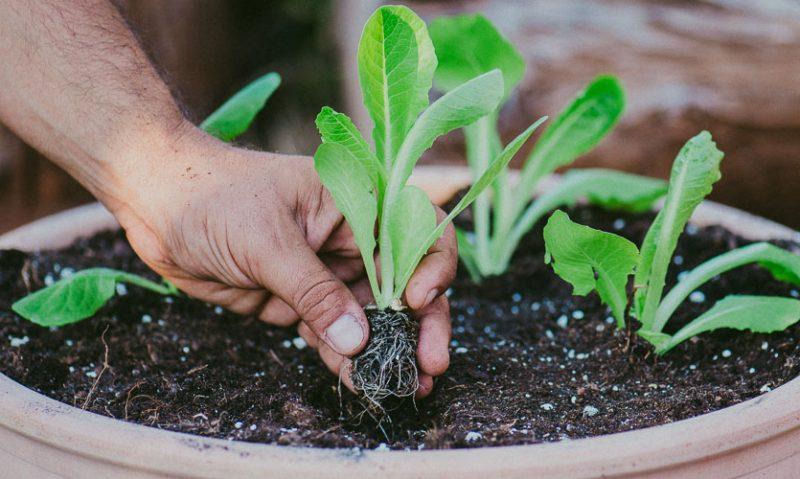 Καλλιέργεια μαρουλιού σε γλάστρα. Του Κώστα Λιονουδάκη-featured_image