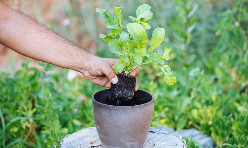 Καλλιέργεια ρόκας σε γλάστρα! Του Κώστα Λιονουδάκη-featured_image