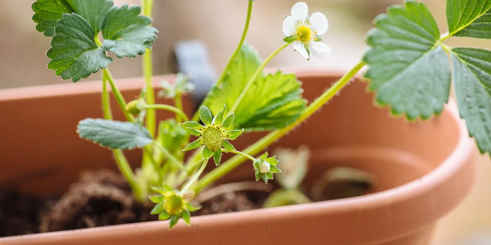 Πέντε συμβουλές για φύτευση φράουλας, του συνεργάτη μας Κώστα Λιονουδάκη-featured_image