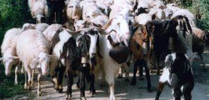 Πρέπει να παρασκευάζεται μόνο από ελληνικό παστεριωμένο αιγοπρόβειο γάλα, σε αναλογία πρόβειο τουλάχιστον 70% και γίδινο έως 30%. Το δε γάλα που χρησιμοποιείται πρέπει να παράγεται από τον Οκτώβριο ως τον Ιούνιο και να προέρχεται από ελληνικές φυλές προβάτων, που τρέφονται με την τοπική χλωρίδα.