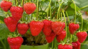 Διαθέτουν φλαβονοειδή (φυσικά χημικά συστατικά που δίνουν στα φρούτα και τα λαχανικά το ζωντανό χρώμα τους) με αντιοξειδωτικές δυνάμεις που θα μπορούσαν να κρατήσουν την καρδιά σας νέα. Η τακτική κατανάλωσή της φράουλας αλλά και άλλων πλούσιων σε  φλαβονοειδή τροφίμων όπως τα μήλα και τα αχλάδια θα μπορούσαν επίσης να μειώσουν τον κίνδυνο καρδιακών παθήσεων.