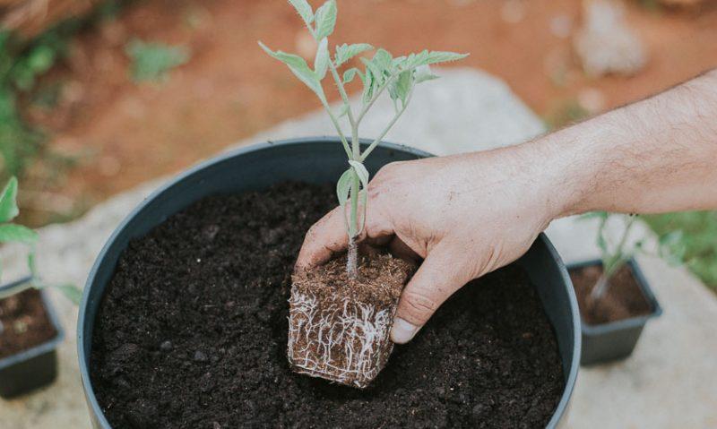 Ντοματίνια: Φύτευση και καλλιέργεια σε γλάστρα, του Κώστα Λιονουδάκη-featured_image