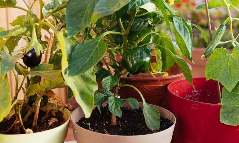 7 μυστικά για καλλιέργεια λαχανικών σε γλάστρα, του Κώστα Λιονουδάκη-featured_image