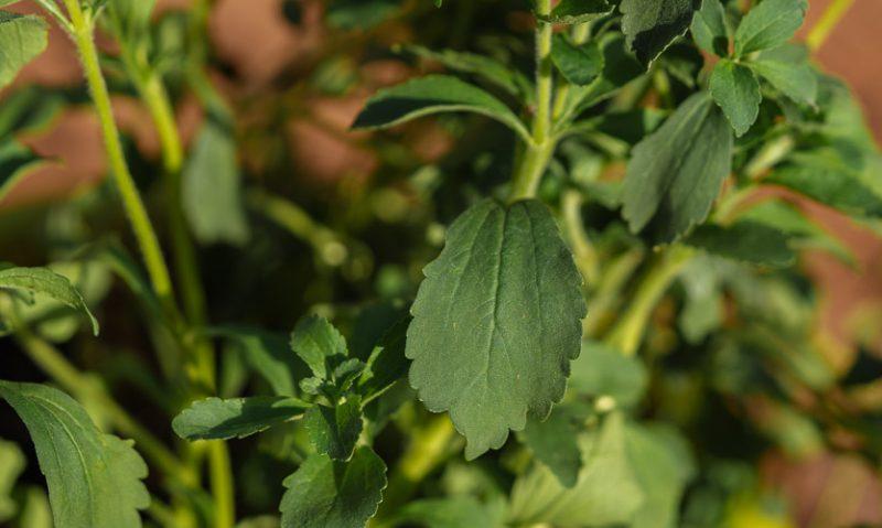 Στέβια: καλλιέργεια στον κήπο και σε γλάστρα, του Κώστα Λιονουδάκη-featured_image