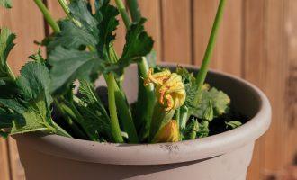 Κολοκύθι: Φύτευση και καλλιέργεια σε γλάστρα, του Κώστα Λιονουδάκη-featured_image