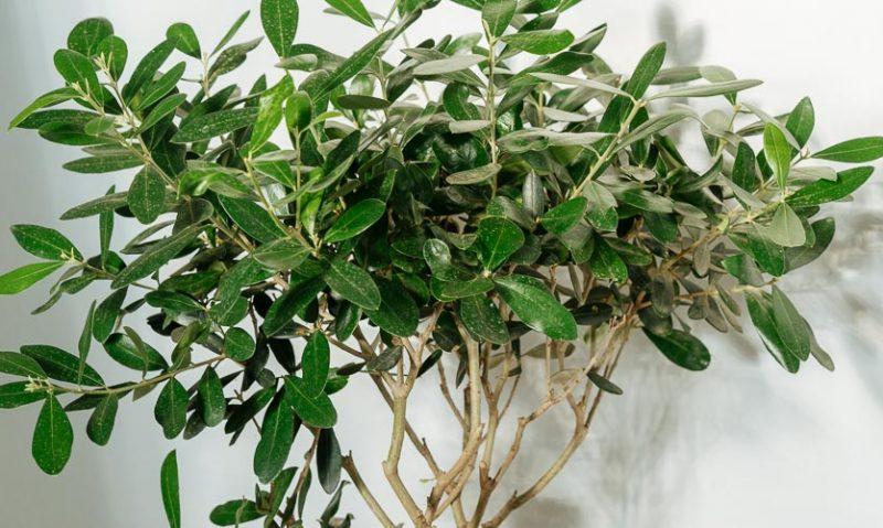 7 μυστικά για τη φροντίδα ελιάς σε γλάστρα, του Κώστα Λιονουδάκη-featured_image