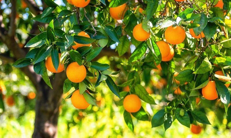 Πορτοκάλι, ο βασιλιάς του χειμώνα-featured_image